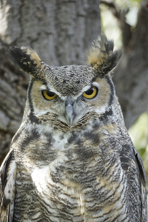 great-horned-owl-1455745_960_720